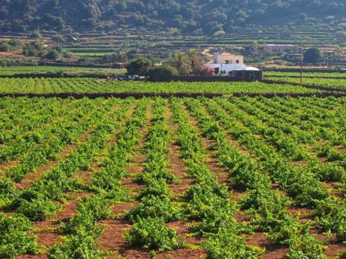 Zibibbo Vineyard_Pantelleria_Villa Italy